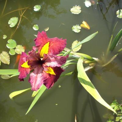 Iris 'Ann Chowning' - Iris - Iris 'Ann Chowning'