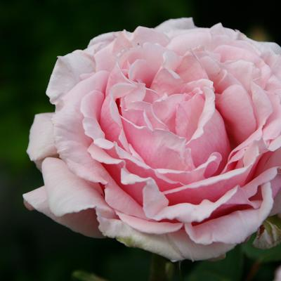Rosa 'Frederic Mistral  - Roos