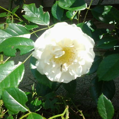 Rosa 'City of York'   -