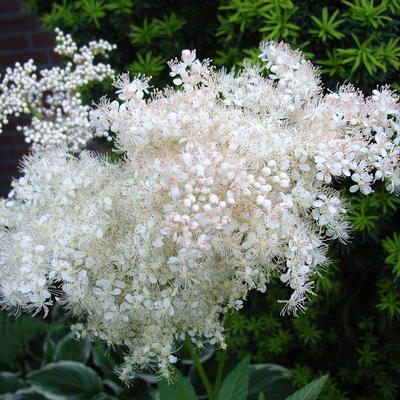 Filipendula glaberrima  -