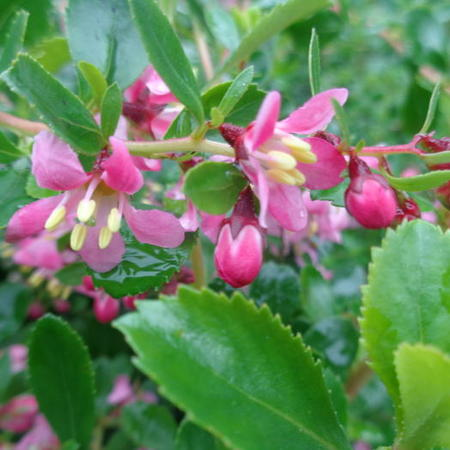 Escallonia 'Dart's Rosyred'