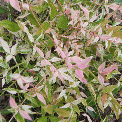 Nandina domestica 'Twilight' - Hemelse bamboe