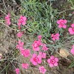 Steenanjer/Zwolse anjer - Dianthus deltoides 'Brilliant'
