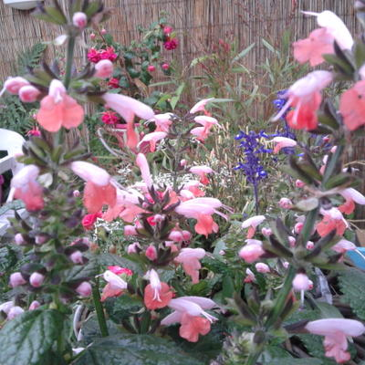 Salvia coccinea 'Summer Jewel Pink' -