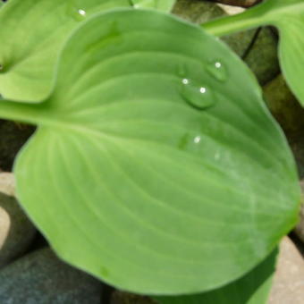 Hosta 'Heartleaf'