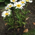Margriet - Leucanthemum x superbum 'Dwarf Snow Lady'