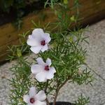 Alyogyne 'Delightfully' - Alyogyne 'Delightfully' - Australische hibiscus, Valse hibiscus