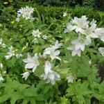 Campanula latifolia 'Alba' - Campanula latifolia 'Alba' - Klokjesbloem, Breedbladig klokje