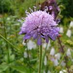 Knautia dipsacifolia - Knautia dipsacifolia - Bergknautia
