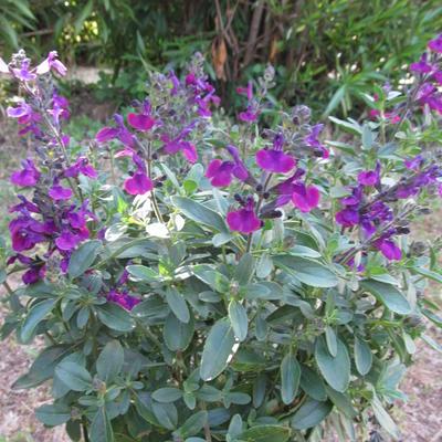 Salvia greggii -