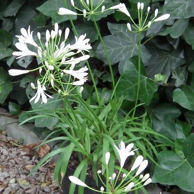Agapanthus 'Amourette White'  -