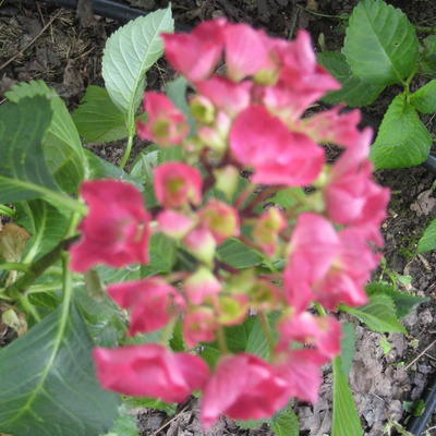 Hydrangea macrophylla 'Red Beauty' -