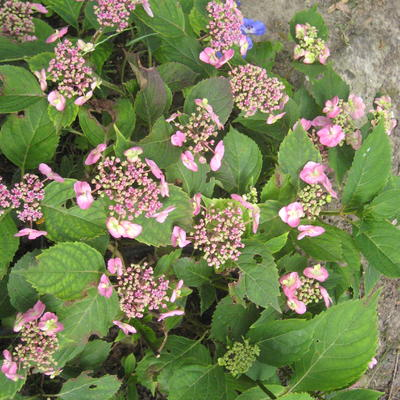 Hydrangea macrophylla FLAIR & FLAVOUR 'Cotton Candy' -