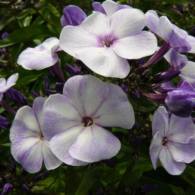 Phlox paniculata 'YOUNIQUE Old Blue' -