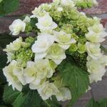 Hydrangea macrophylla 'Dancing Snow' - Hydrangea macrophylla 'Dancing Snow' - Hortensia