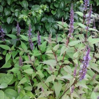Agastache rugosa 'After Eight'