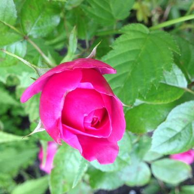 Rosa 'Glamour select' - Roos