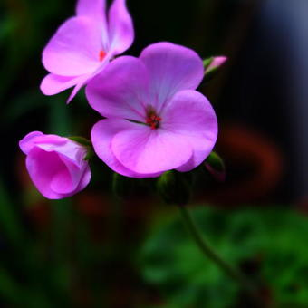 Pelargonium 'Maverick Quicksilver F1'