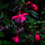 Fuchsia 'Tausendschön' -