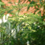 Peucedanum verticillare - Varkenskervel - Peucedanum verticillare