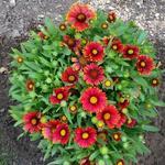 Kokardebloem - Gaillardia x grandiflora 'Arizona Red Shades'