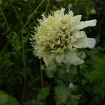 Cephalaria radiata - Cephalaria radiata - Gele scabiosa