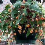Begonia sutherlandii  - Begonia sutherlandii  - Begonia, knolbegonia