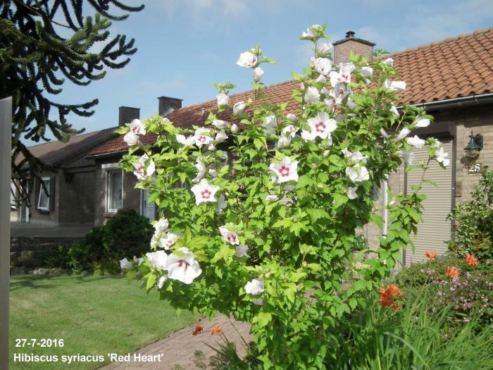 Altheastruik Hibiscus Syriacus Red Heart Planten Online Kopen
