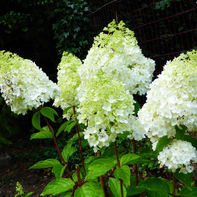 Hydrangea paniculata 'MAGICAL Moonlight' -