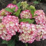 Hydrangea macrophylla CHARMING 'Sophia' -