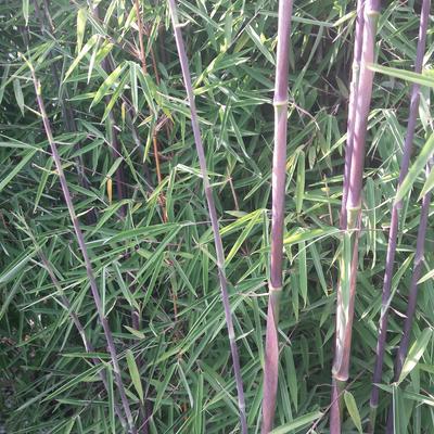Fargesia nitida 'Jiuzhaigou' - Bamboe - Fargesia nitida 'Jiuzhaigou'