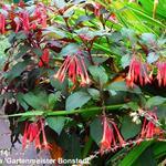 Fuchsia triphylla 'Gartenmeister Bonstedt' -