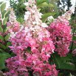 Hydrangea paniculata 'Pinky Winky'  - Pluimhortensia - Hydrangea paniculata 'Pinky Winky'