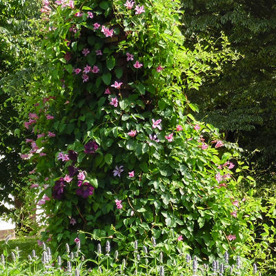 Clematis texensis 'Duchess of Albany' - Bosrank
