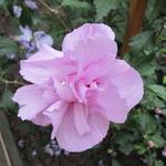 Hibiscus syriacus 'Ardens' - Althaeastruik - Hibiscus syriacus 'Ardens'