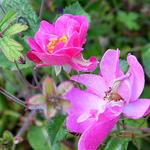 Rosa 'Lavender Dream' - Roos - Rosa 'Lavender Dream'