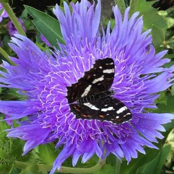 Stokesia Laevis 'Mels Blue'