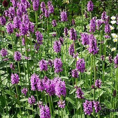 Stachys macrantha 'Superba' - Andoorn - Stachys macrantha 'Superba'