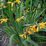 Crocosmia x crocosmiiflora 'George Davidson' - Montbretia - Crocosmia x crocosmiiflora 'George Davidson'