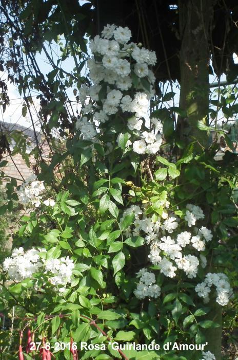 ramblerroos rosa 39 guirlande d 39 amour 39 planten online kopen. Black Bedroom Furniture Sets. Home Design Ideas