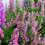 Calluna vulgaris 'Dark Beauty' - Calluna vulgaris 'Dark Beauty' - Dopheide / zomerheide / struikheide / bezemheide