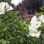 Rosa rugosa 'Alba' - Bottelroos