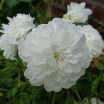 Rosa  'White Fairy' - Roos - Rosa  'White Fairy'