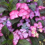 Hydrangea  macrophylla BLACK DIAMONDS 'Baroque Angel Blue' - Hortensia