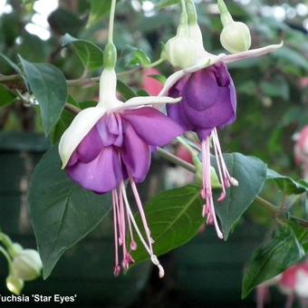 Fuchsia 'Star Eyes'