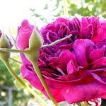 Rosa 'William Shakespeare 2000' - Rosa 'William Shakespeare 2000' - Roos