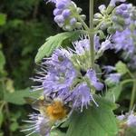Blauwe spirea/Baardbloem - Caryopteris x clandonensis 'Heavenly Blue'