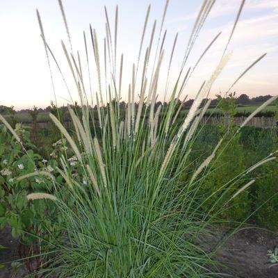 Pennisetum macrourum -