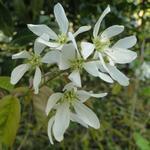 Amelanchier canadensis - Amelanchier canadensis - Canadees krentenboompje