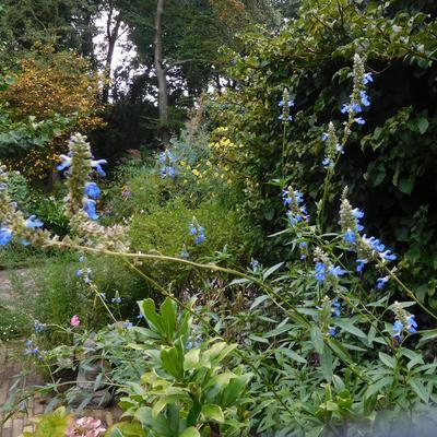 Salvia uliginosa - Salie - Salvia uliginosa